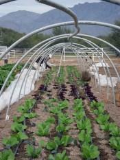 rrg weeding lettuce - 500